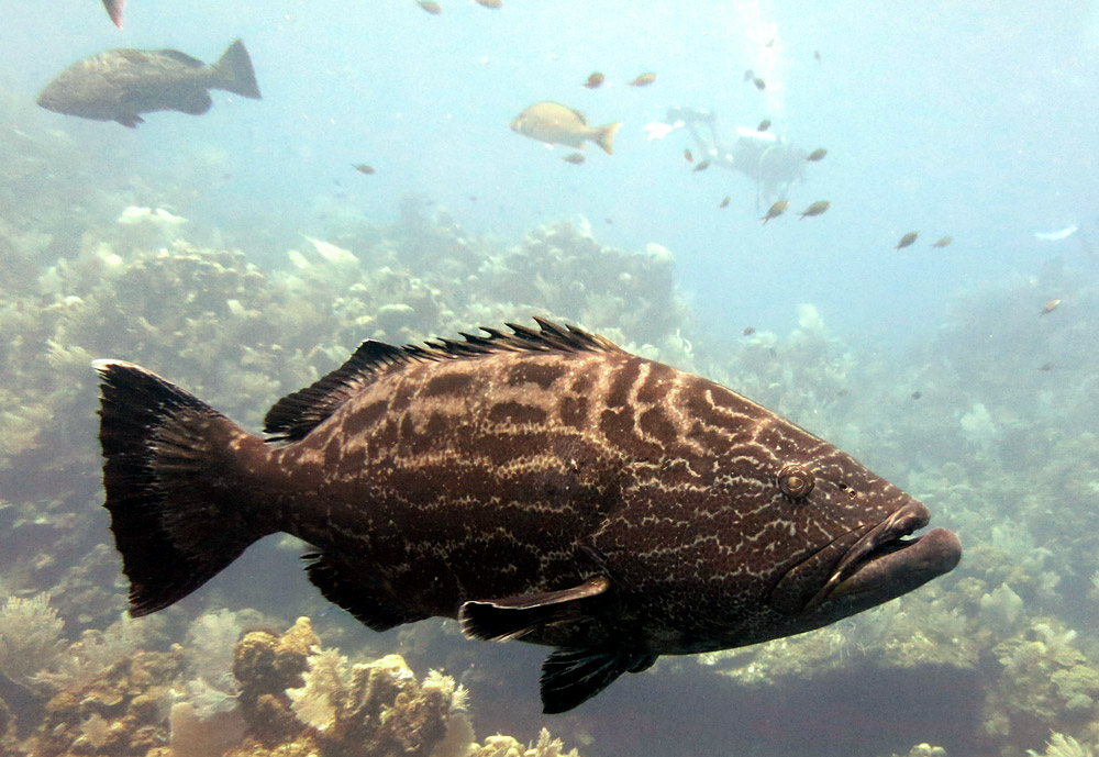 Big Grouper on the wreck of El Aguila best scuba diving in the world