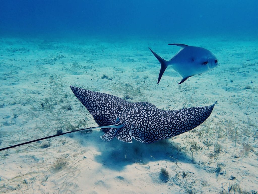 eagle ray cozumel mexico best scuba diving in the world