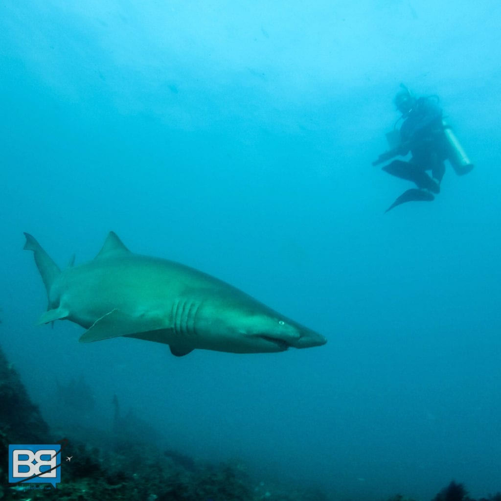 Grey Nurse shark best scuba diving in the world