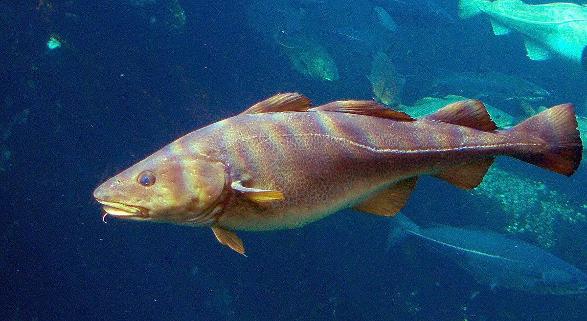 cod fish bacalhau, portugal